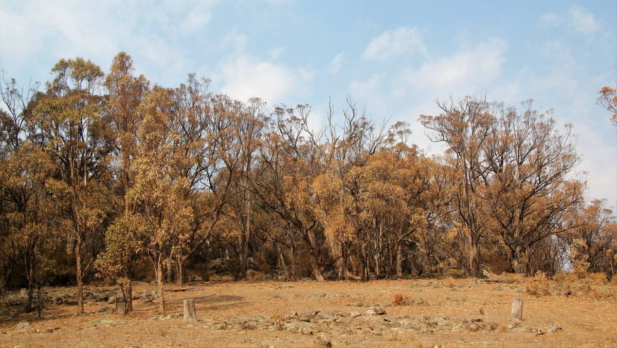 This eucalypt tree dieback event was recorded in Armidale, but The Dead Tree Detective research project wants to know what's happening in your backyard.