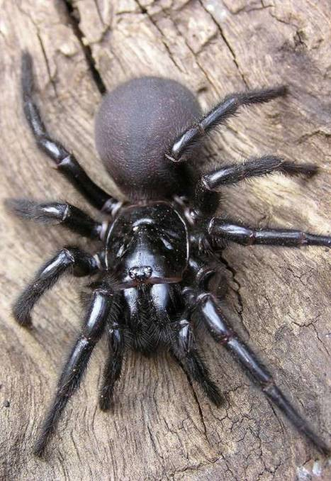 Funnel web spider bites Bundanoon woman in her bed | Southern Highland News  | Bowral, NSW